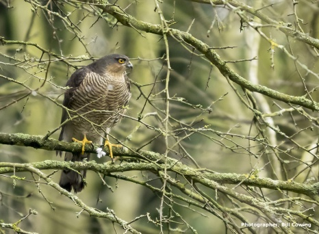 Sparrowhawk (Adult