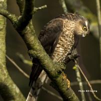 sparrowhawk-juvenile1