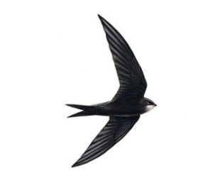 swift-silhouette