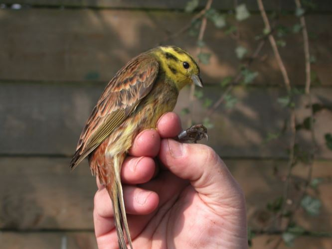Yellowhammer ringed in Clara Vale